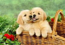Adorable Male and Female Golden Retriever Available to Go Puppies For Sale, Text (251) 237-3423