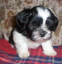 Cutest and Loving Lhasa Apso Puppies For Sale For Sale, Text (251) 237-3423