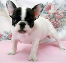 Double Hooded French Bulldogs For Sale, Text (251) 237-3423