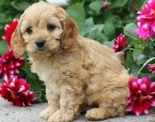 F1 Cavapoo Puppies Ready Now For Sale, Text (251) 237-3423
