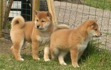 Fantastic Shiba Inu Puppies Ready For Sale, Text (251) 237-3423