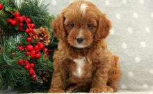 Health Tested F1cockapoo Puppies For Sale, Text (251) 237-3423