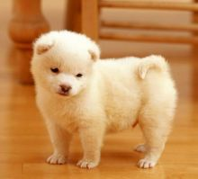 Samoyed Puppies Ready Now For Sale, Text (251) 237-3423