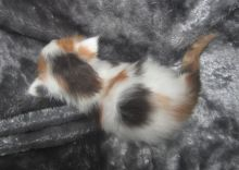 Quality Pedigree Maine Coon Kittens Call/ Text 647 487 9166