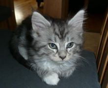 Don't miss out on these Lovely Maine Coons Kittens Call/ Text 647 487 9166