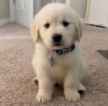 Golden retriever pups available for sale
