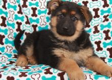 uickly and safely German Shepherd Dog puppies for sale