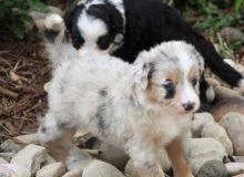 Adorable Australian Shepherd puppies for Adoption