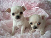 LOVELY CHIHUAHUA PUPPIES FOR SELL