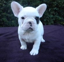 English Bulldogs for sell. Image eClassifieds4u 2