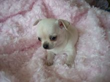 LOVELY CHIHUAHUA PUPPIES FOR SELL Image eClassifieds4u 2