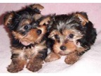 Teacup Yorkie Puppies both Males and females available.(678) 830-2384,,