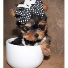 Beautiful teacup Yorkie puppy for adoption
