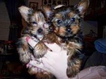 Yorkie puppies for adopyion