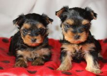 Lovely Yorkshire Terrier puppy//amamdav.e.ronica@gmail.com