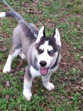 Siberian husky.(989) 683-0792