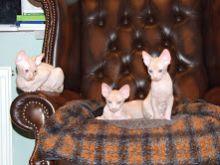 sphynx kittens ready now.