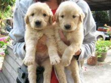 Beautiful Golden Retriever Puppies//amamdaver.onica@gmail.com