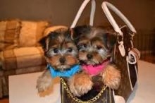 12 weeks old registered Male and female yorkie puppies ready for adoption