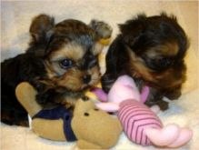 2/Yorkshire Terrier Puppy//amamdaveroni.ca@gmail.com/