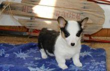 considerate Welsh Corgi (Pembroke) Puppy