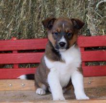 sensible Shetland Sheepdog Puppy