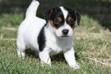 Jack russell puppiesready to go