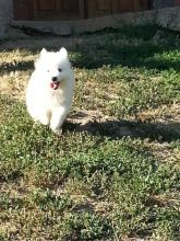 Outstanding Males and Females Samoyed Puppies
