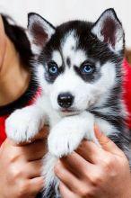 Registered Purebred Siberian Husky Puppies (213) 293-7679