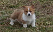 Sweet Male And Female Pembroke corgi puppy For Free Adoption. Text us via (424) 672-4188