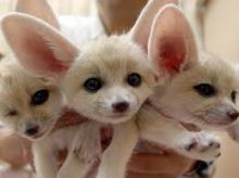 Adorable Fennec Fox For Homes Now!!