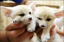 Healthy Fennec Fox babies