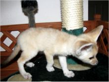 Home Trained Fennec Fox Babies