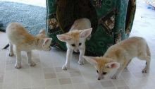Volpe Fennec Fox Babies Now