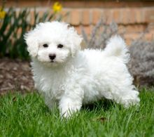 `~ ` `~ ~Trained Bichon Frise Puppies available `~ ` `~ ~