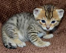 Adorable F1 Savannah kittens available for adoption(218) 303-5958