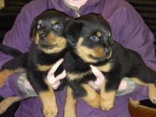 Adorable Rottweiler puppies for new homes. (218) 303-5958