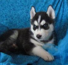 Black and White SIBERIAN HUSKY Puppies (406) 299-1836