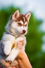 Grande Prairie Husky : Dogs, Puppies for Sale Classifieds at