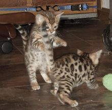 Adorable TICA Bengal Kittens for Adoption - 11 Weeks Old