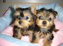 Intelligent Teacup yorkie Puppies Available