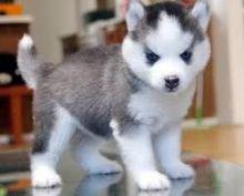 Affectionate siberian husky Puppies