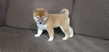 Male and female Shiba Inu puppies with great personalities