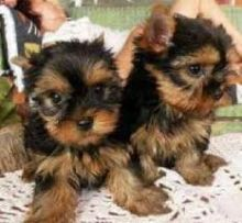Afectionate Yorkie Puppies for adoption