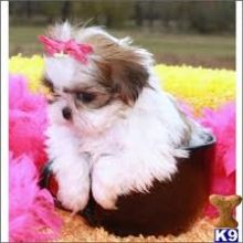 Shih Tzu Not K.c. Reg Full Pedigree 1 Boy Left