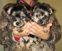 Two Adorable Yorkie puppies