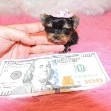 well trained teacup Yorkie puppy