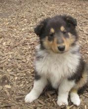 Collie Puppies.