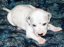 Male and female Dalmatian Puppies.