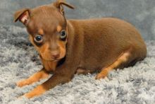 miniature Pinscher puppies available.